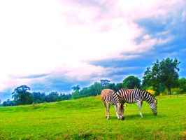 Zebras by sk8-element