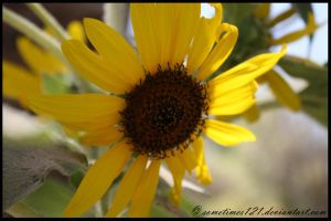 Sunflower by sometimes121