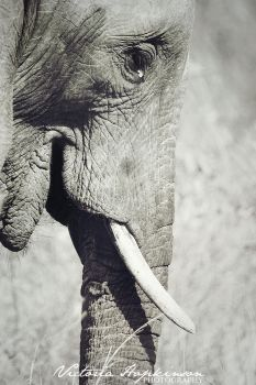 Tusks by victoriahopkinson