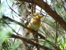 Juvanile Spinebill by Typthis