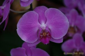 Orchid III by friedapi