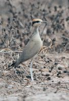 You can't see me  -Temminck's Courser by Jamie-MacArthur
