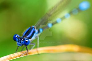 Damselfly by ribbonworm