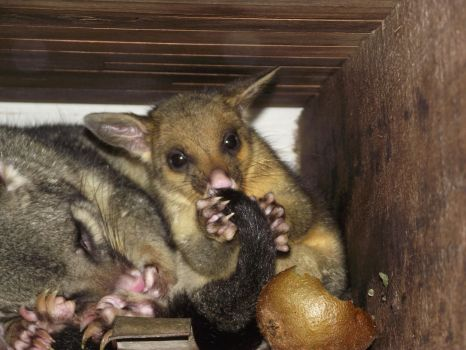 Possums - Mom and Baby 04 by JohnStephenEvil