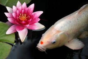 Pink Lily, White Koi by nectar666