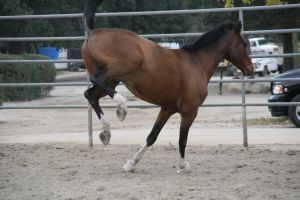 Crazy Warmblood 7 by Aestivall-Stock
