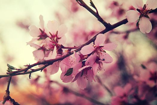 Spring tree blossom X by Sugar-Sugar-Bee