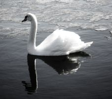 Black And White Swan by Heavymedicated