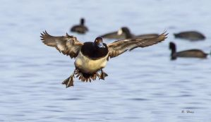 Lesser Scaup Landing by Grouper