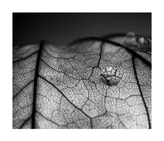 Leaf II by Anorielle
