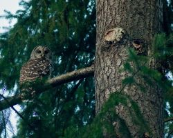 Barred Owl by LarryRaisch