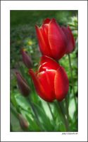 Red Tulips. .....6 by gintautegitte69