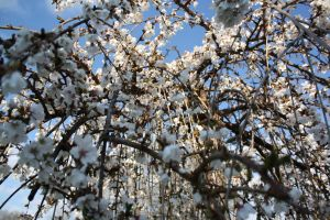 Weeping Cherry Again by WYPOUT429
