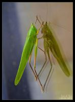 Katydid on Window by Eccoton