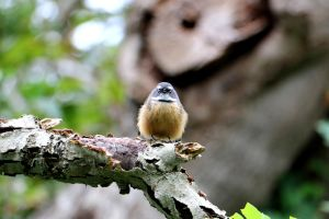Fantail #2 by Aroha-Photography