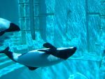 Commerson Dolphins by vmgp2