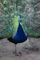 Peacock II by NorthernLand