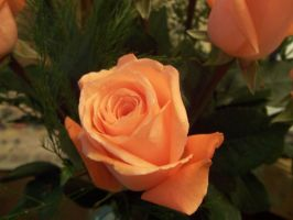Roses-3 by stock-it