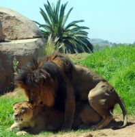Lions mating 1 by fosspathei