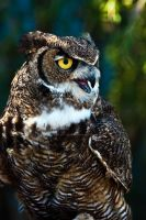 Great horned owl by Sara-N-Photography