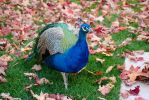 Peacock in Fall by dseomn