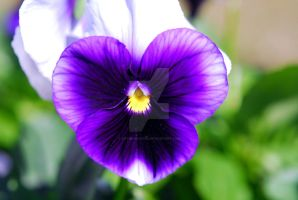 Purple Passion Pansy by actionandy99