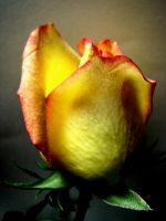 A Single Rose by 1000--Words