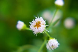 White Flower Macro by JessicaDobbs