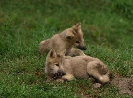 Wolf cubs 1 by H2-HELLHORSE