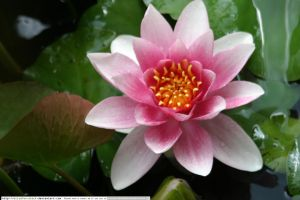 stock water lily 3 by elisafox-stock