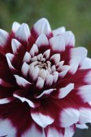 Flower 2222_dahlia by MaGeXP
