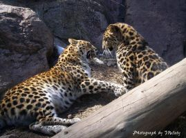 Leopards at Play 2 by thats-really-wierd
