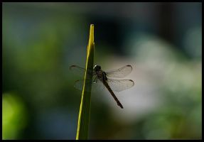 Dragonfly by impgrrrl