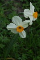 narcissus by ImpalaStock