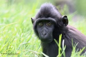 Young macaque portrait by InsaneGelfling