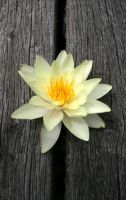 water lily I by Sweet-Pineapple