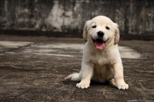 puppy Golden 27 by WeiTat