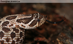 Western Hognose by FantasticFennec