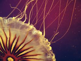 Jellyfish by ColdEdge