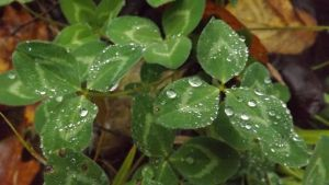 Clover on a Rainy Day by DarlingChristie