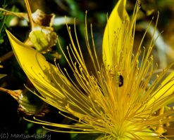 Flower Bug by MartinGollery