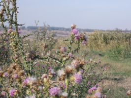 Prickly Thistle by nikkeae