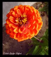 Orange Zinnia by Jenna-Rose