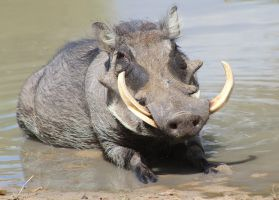 Warthog - African Wildlife - Hog Summer Swim by LivingWild