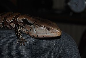 blue tongue skink by pigsonthewing880