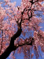 . cherry blossom 3 . by Lovemeformexox
