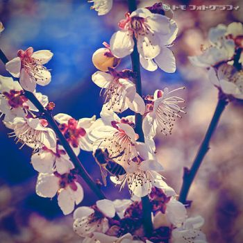 Japanese Apricot II by WindyLife