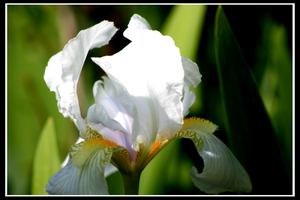 Flora - White Iris by avacancy