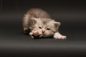 Maine-coon kittens 9 by Kelshray-photo