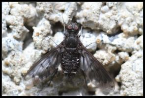 black bee fly by 21711